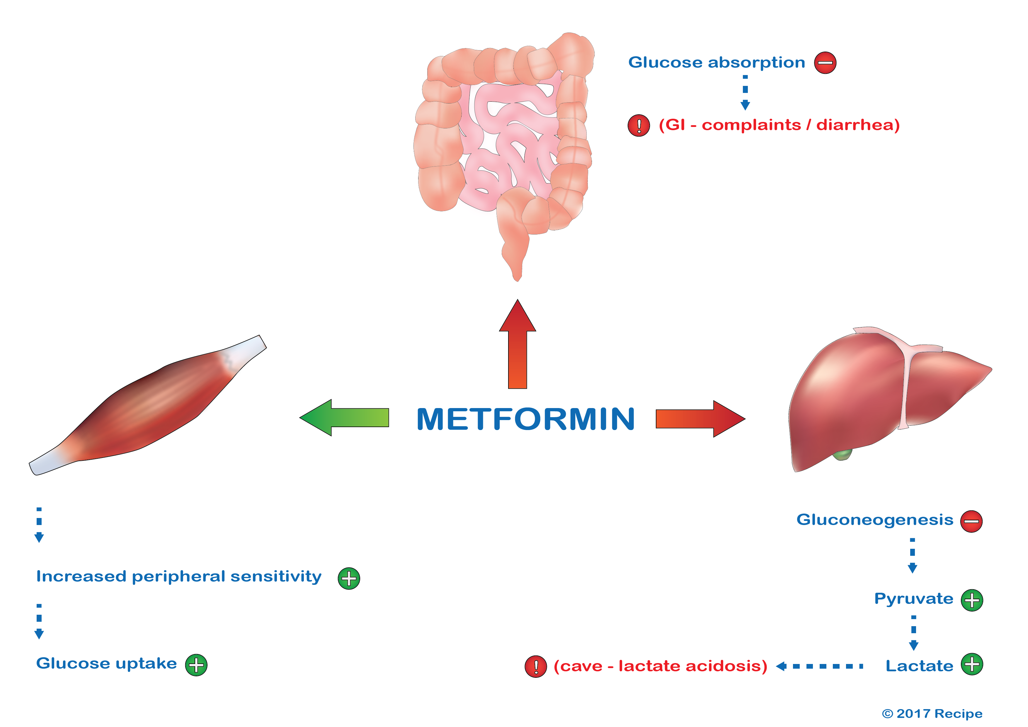 The working mechanism of metformin
